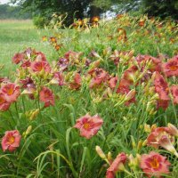 A favorite daylily-Gordon Biggs