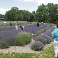 A group picking Lavender in June