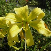 Daylily Spider Miracle