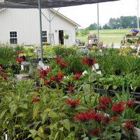 Monarda in our sales area, July