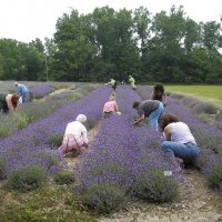 lavender pickers