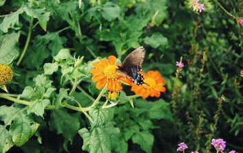 Butterfly on a tithonia blossom, Carolee's Herb Farm