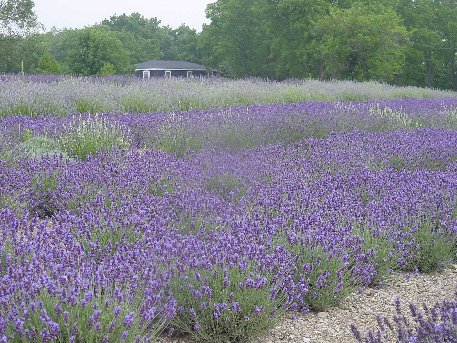 The lavender field in full bloom
